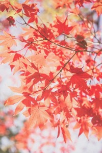PAK85_hinisukerumomiji20141206095140_TP_V